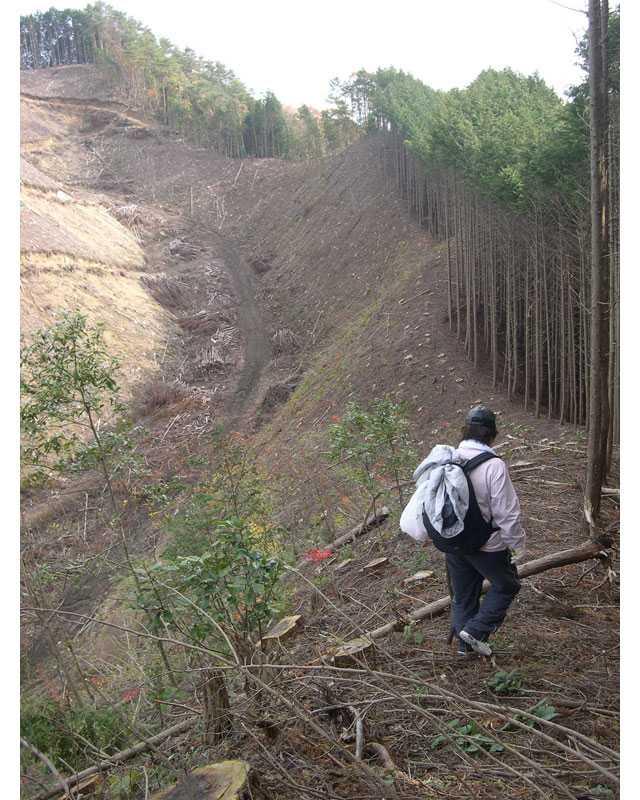 伐採地の縁を歩く