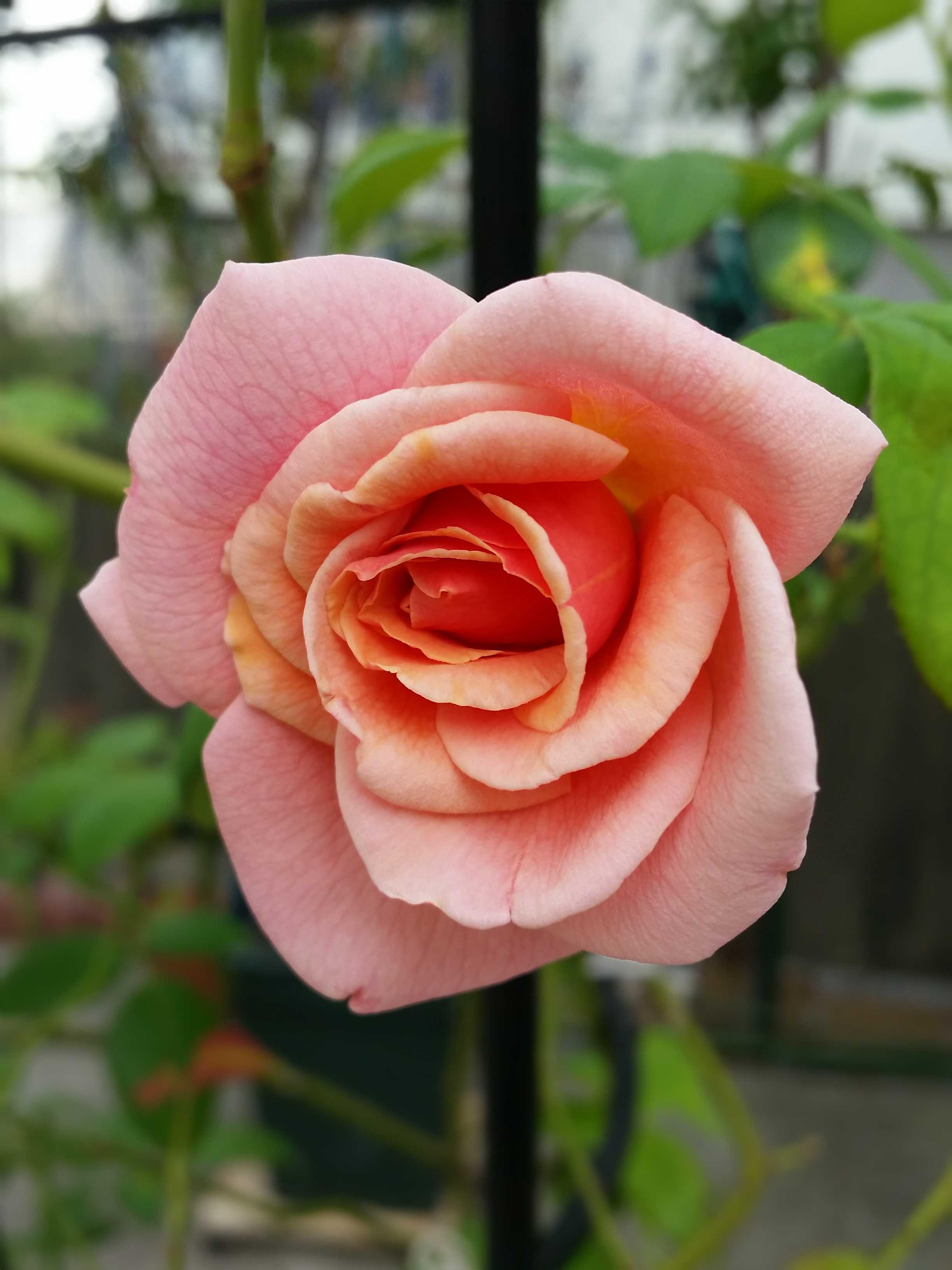 薔薇コンパション