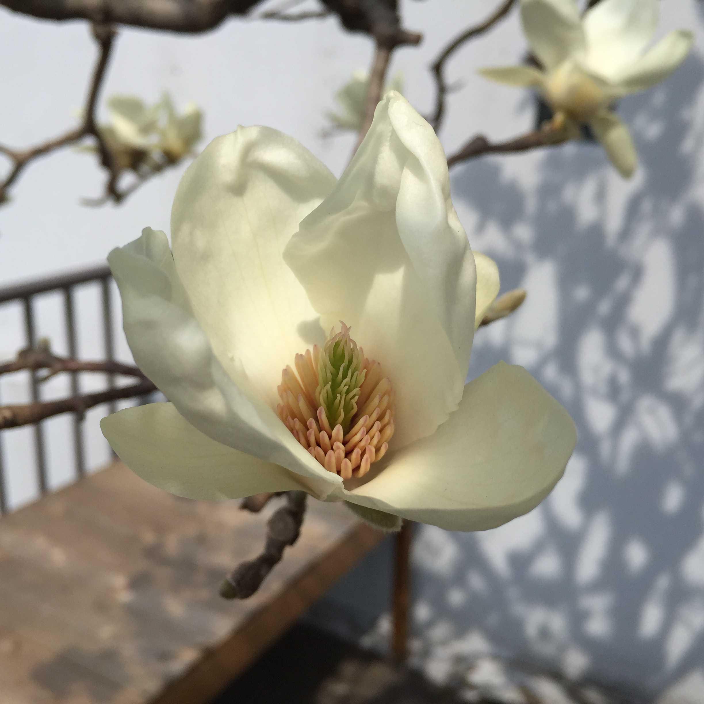 白木蓮(ハクモクレン)