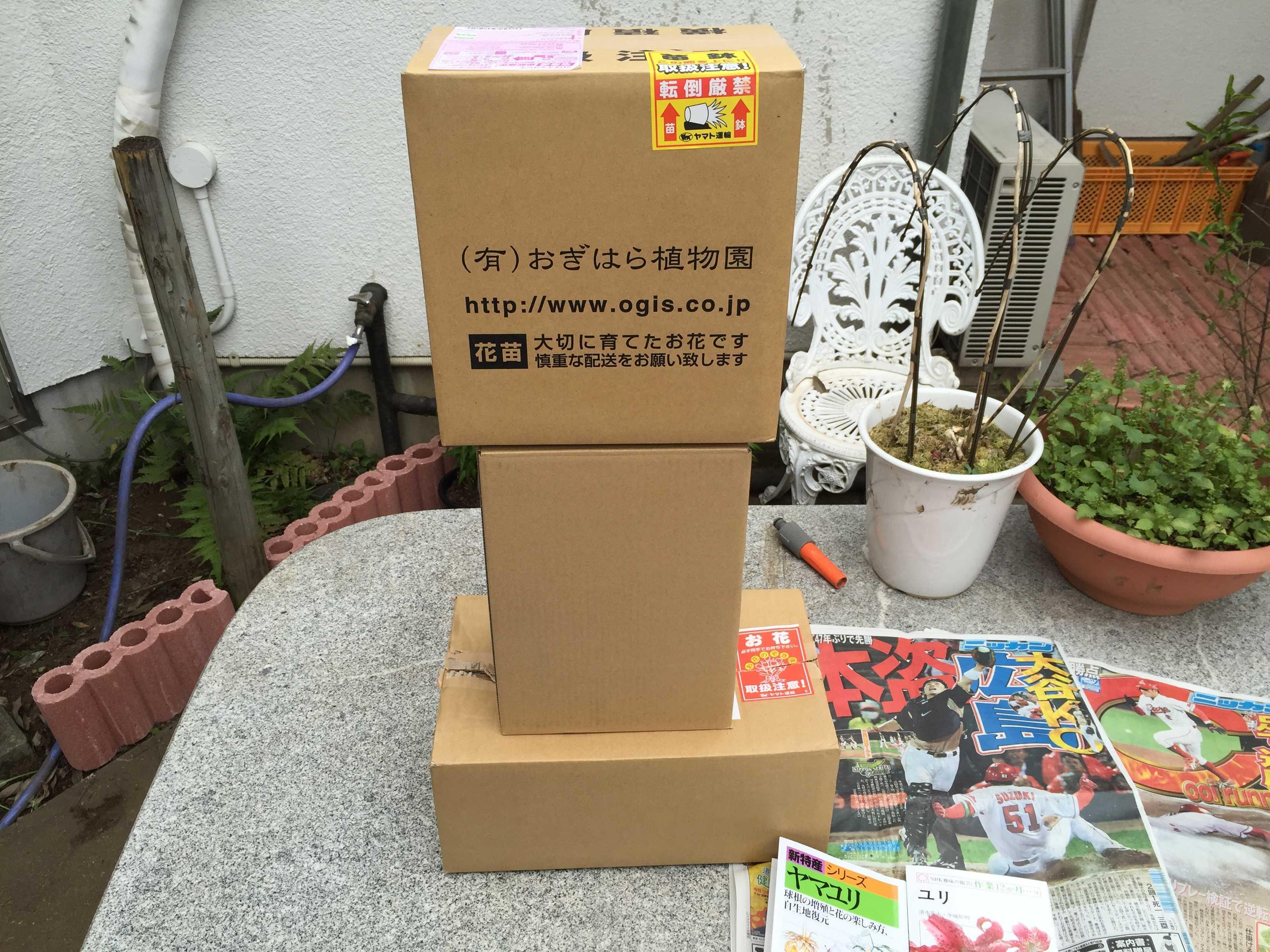ヤマユリの鱗片挿し - ネット通販で購入