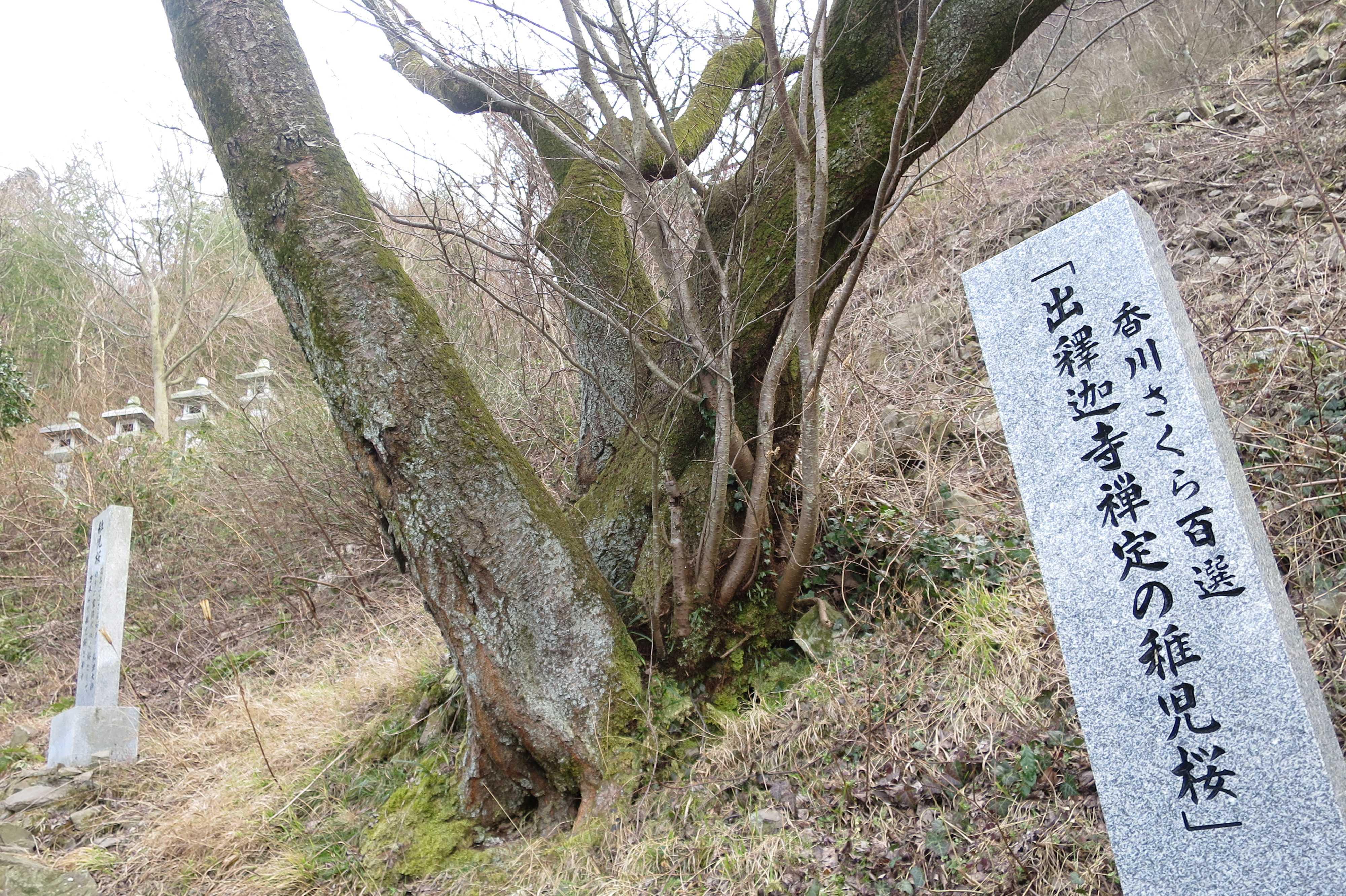 香川さくら百選「出釋迦寺禅定の稚児桜」