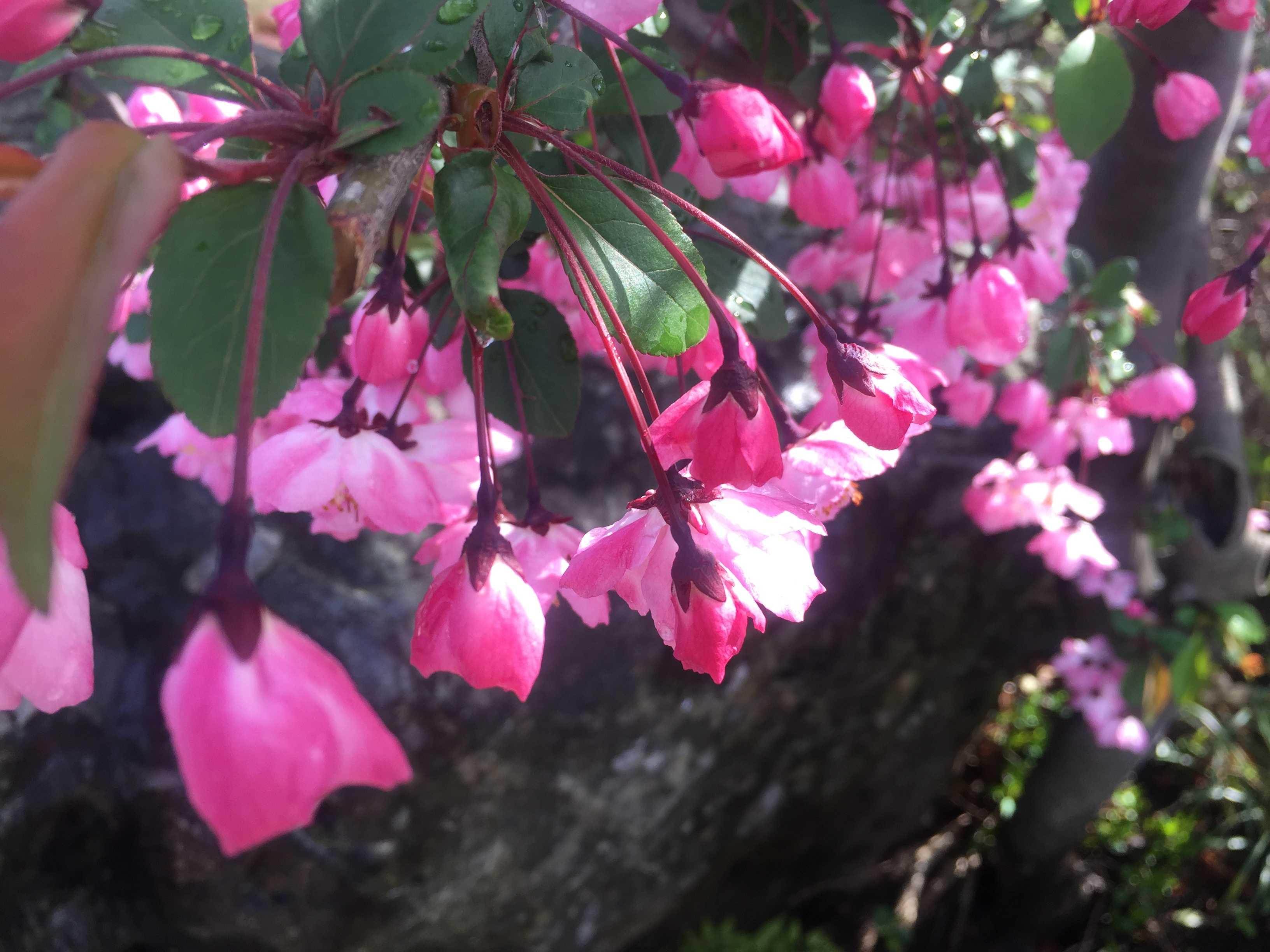 ハナカイドウ(花海棠)の美しさ