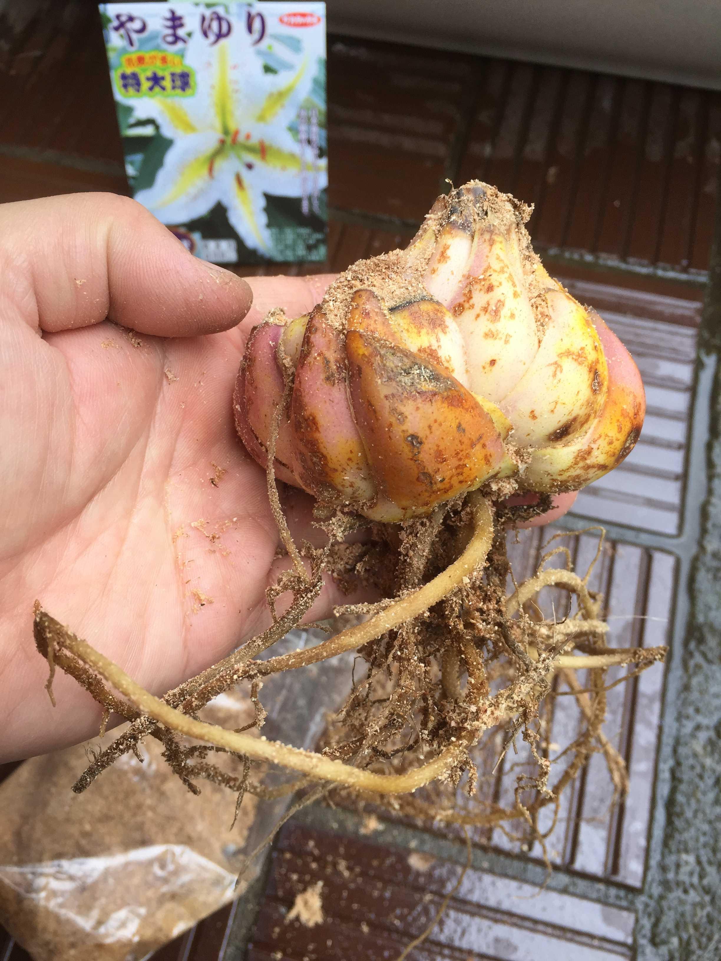 やまゆりの鱗片ざしに使う球根