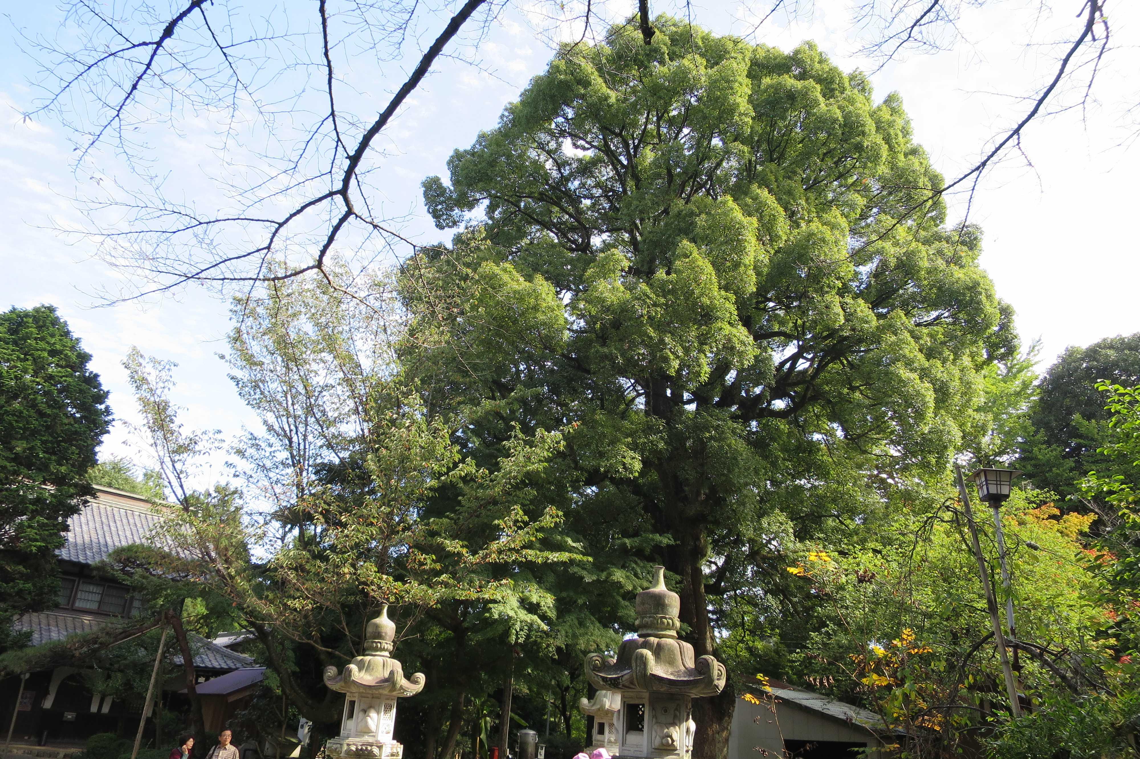 無量光寺 - 大樹
