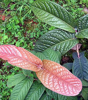 ベトナム産椿 - ムラウチイ(ムラウチィ)の葉っぱ
