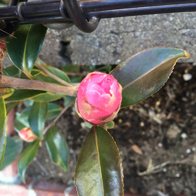 春サザンカ「笑顔」の花びら