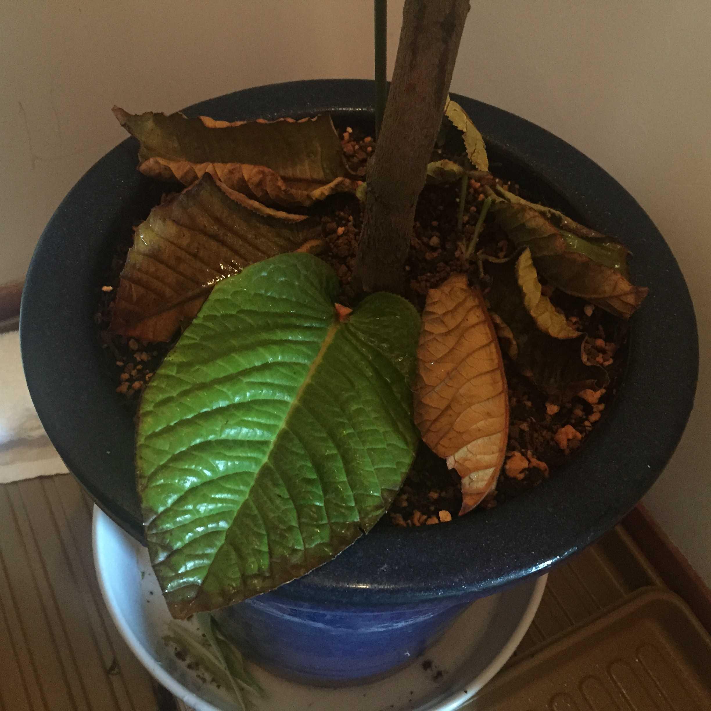 「ムラウチイ」の落ちた葉