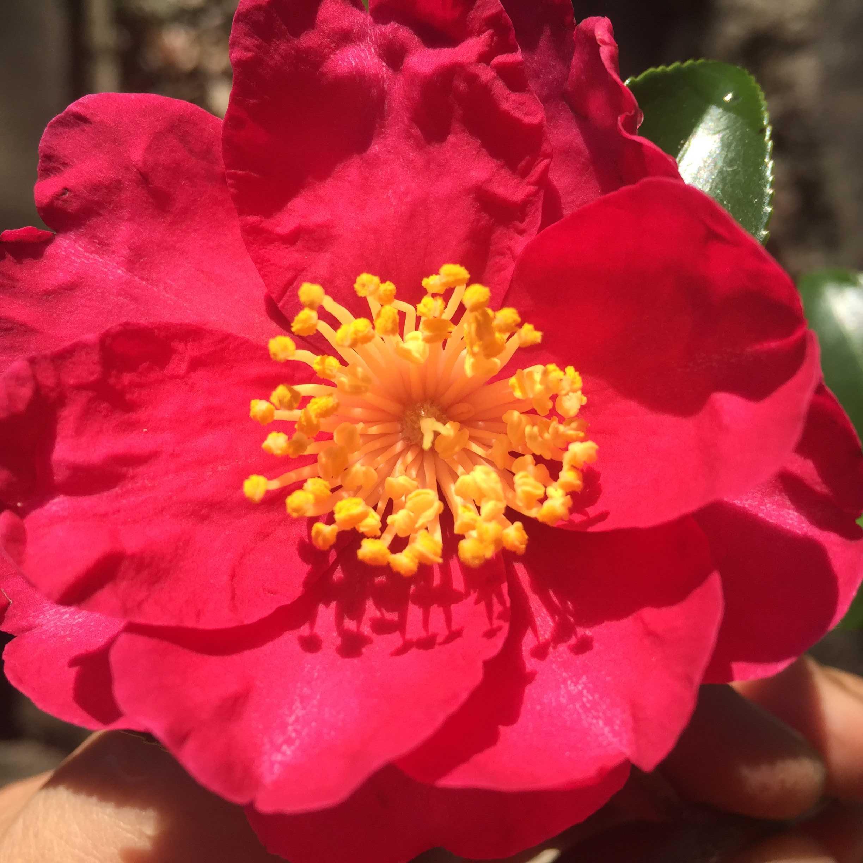 サザンカ(山茶花)の花言葉