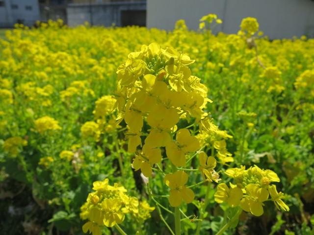 菜の花の花と蕾
