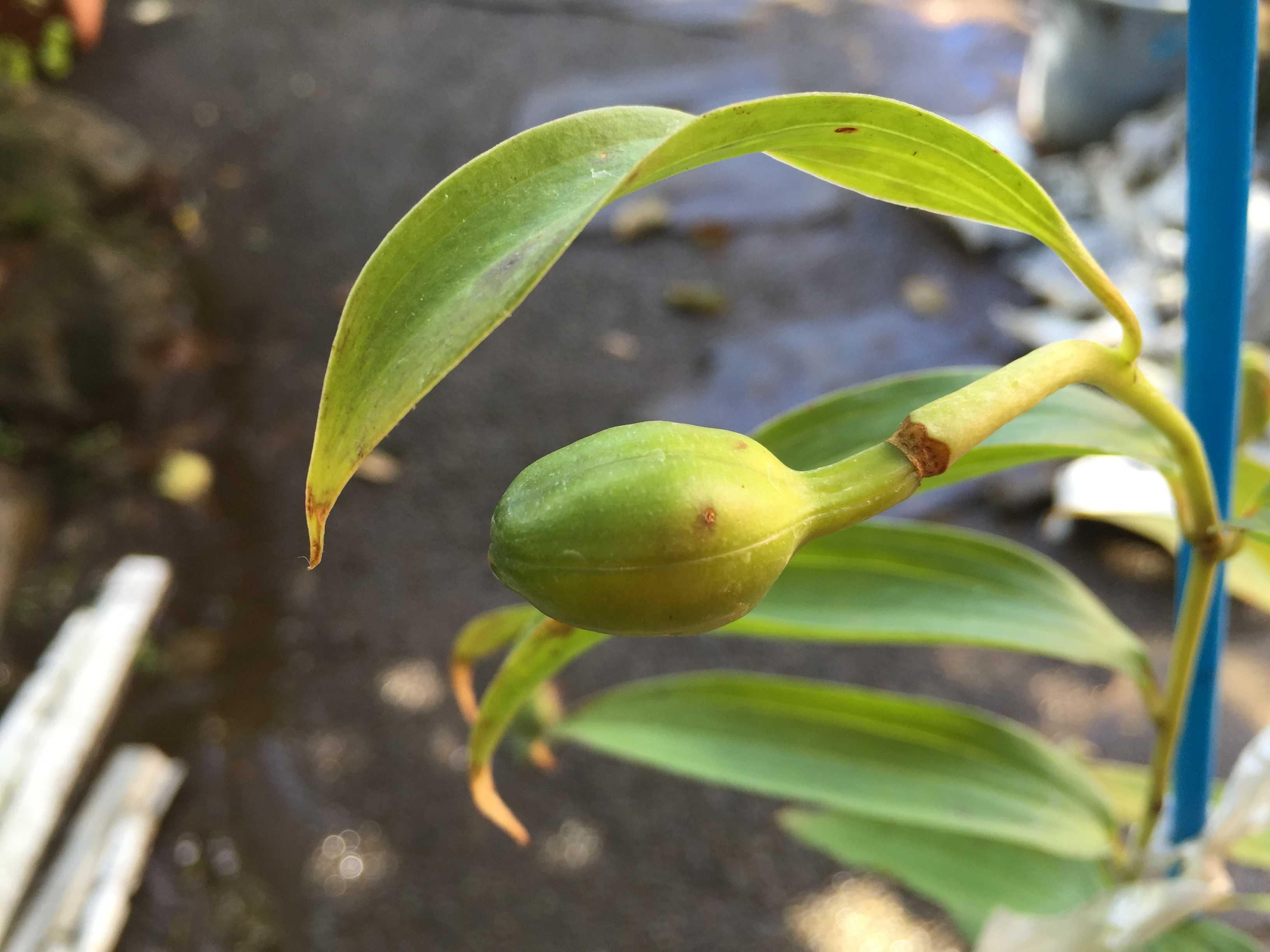 ヤマユリ庭植え - 朔