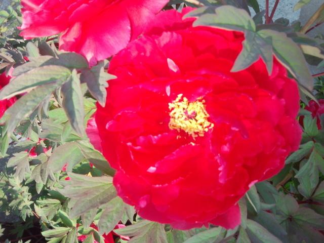 真っ赤な牡丹の花