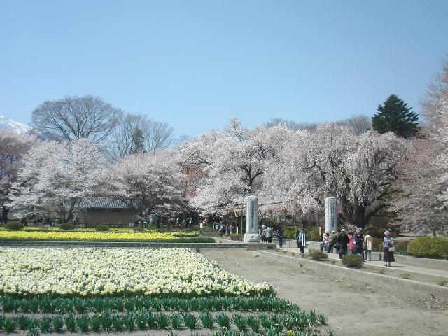 実相寺境内の桜