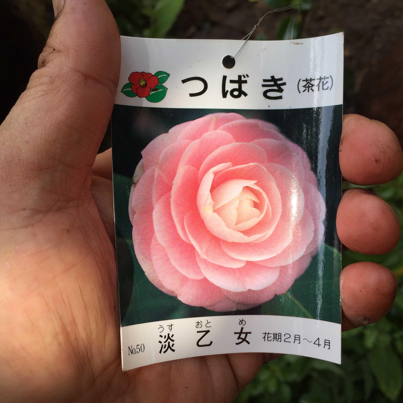 つばき/椿  淡乙女(うすおとめ)