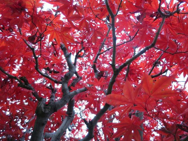もみじの赤い葉っぱ