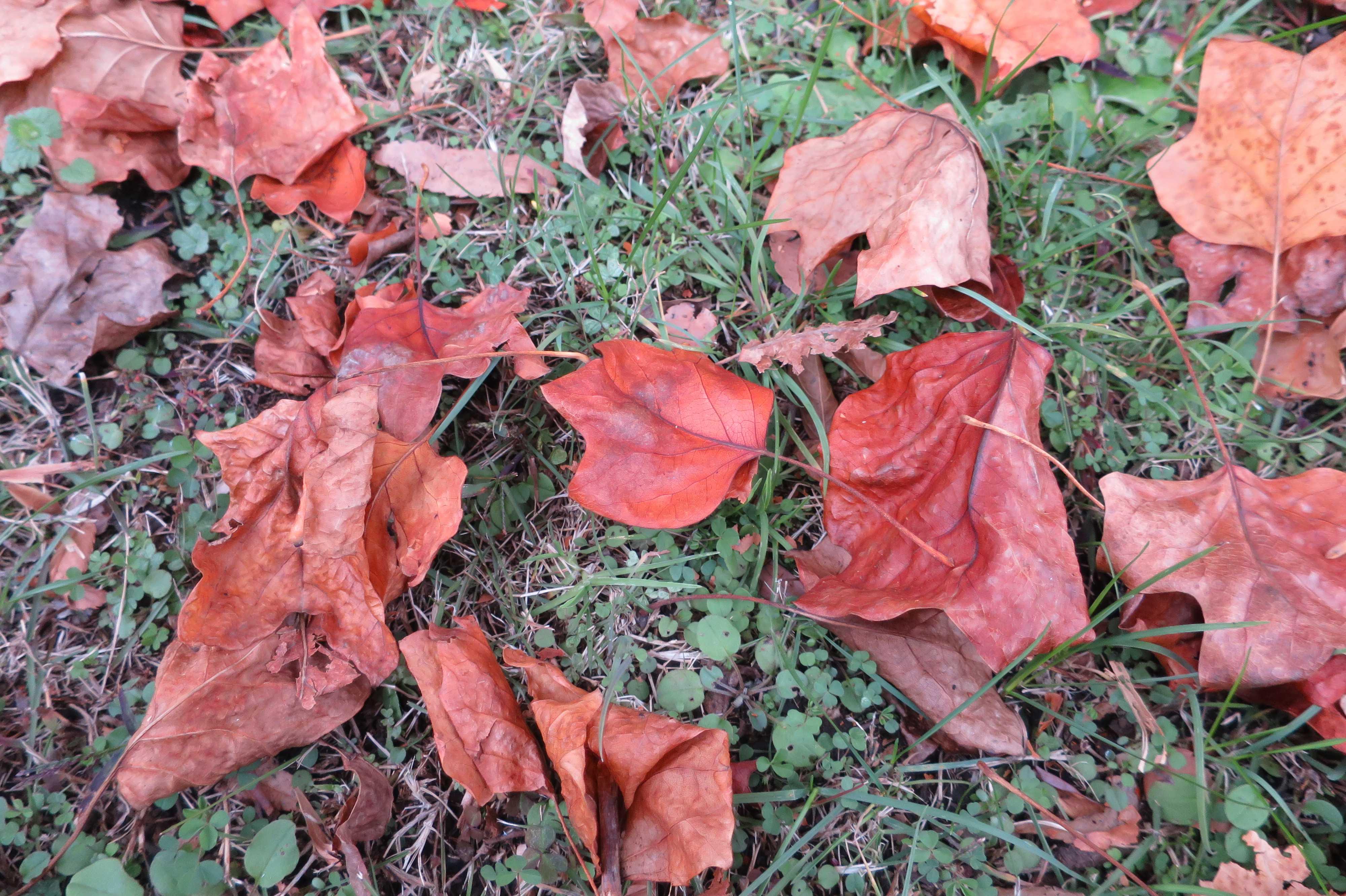 ユリノキの葉っぱ