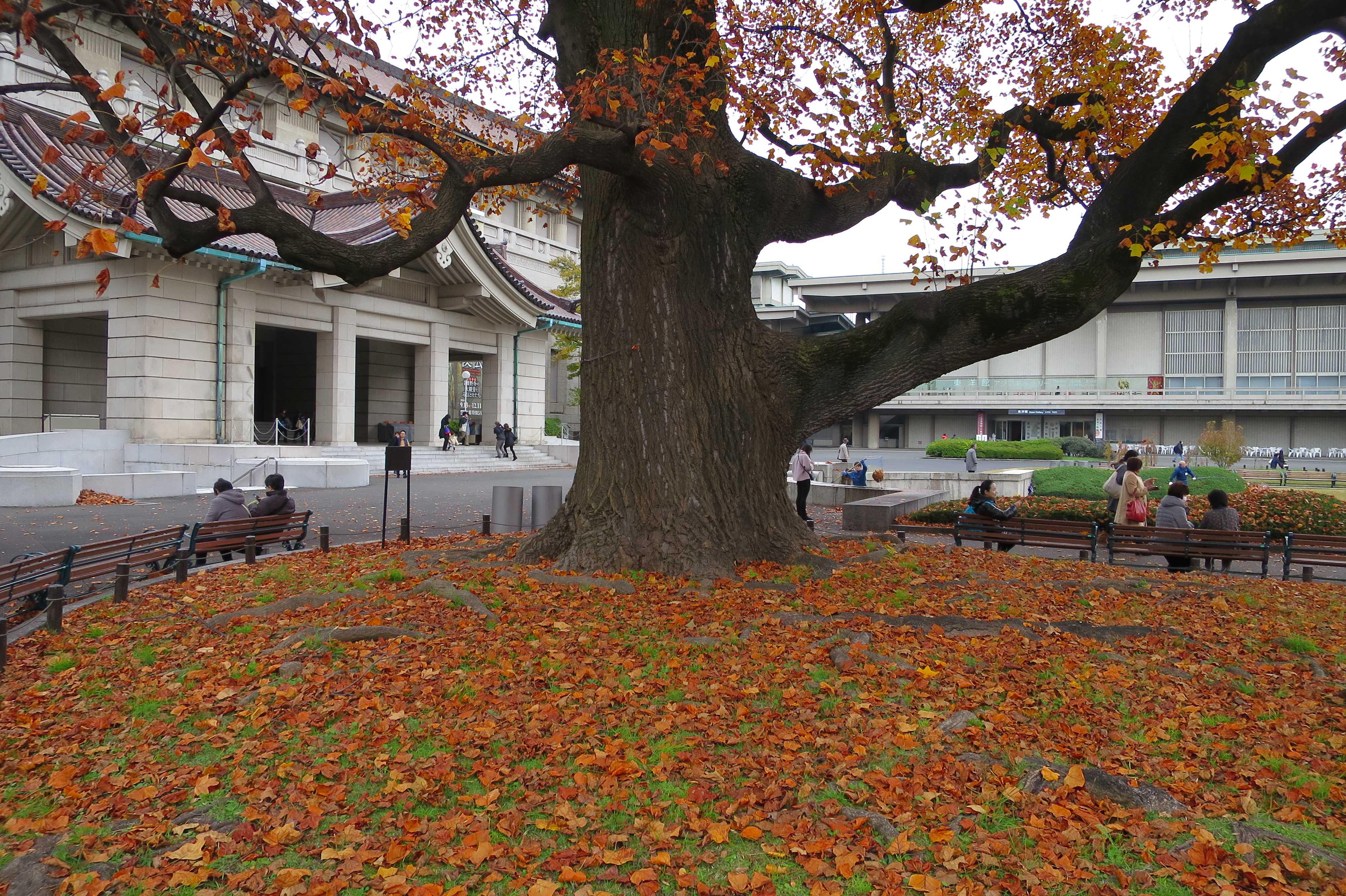落葉したユリノキの葉