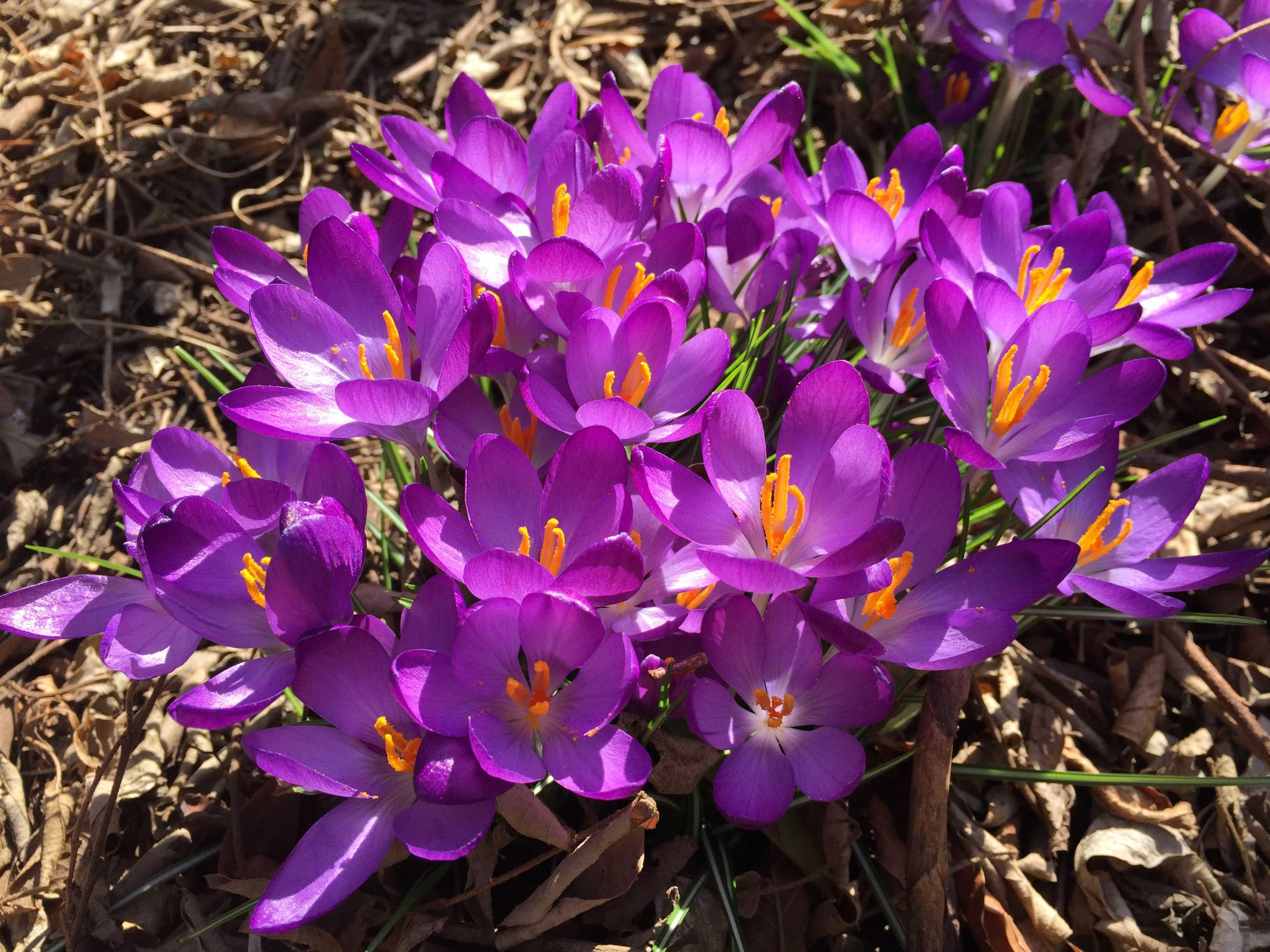 紫のクロッカス(紫色のクロッカス)の花