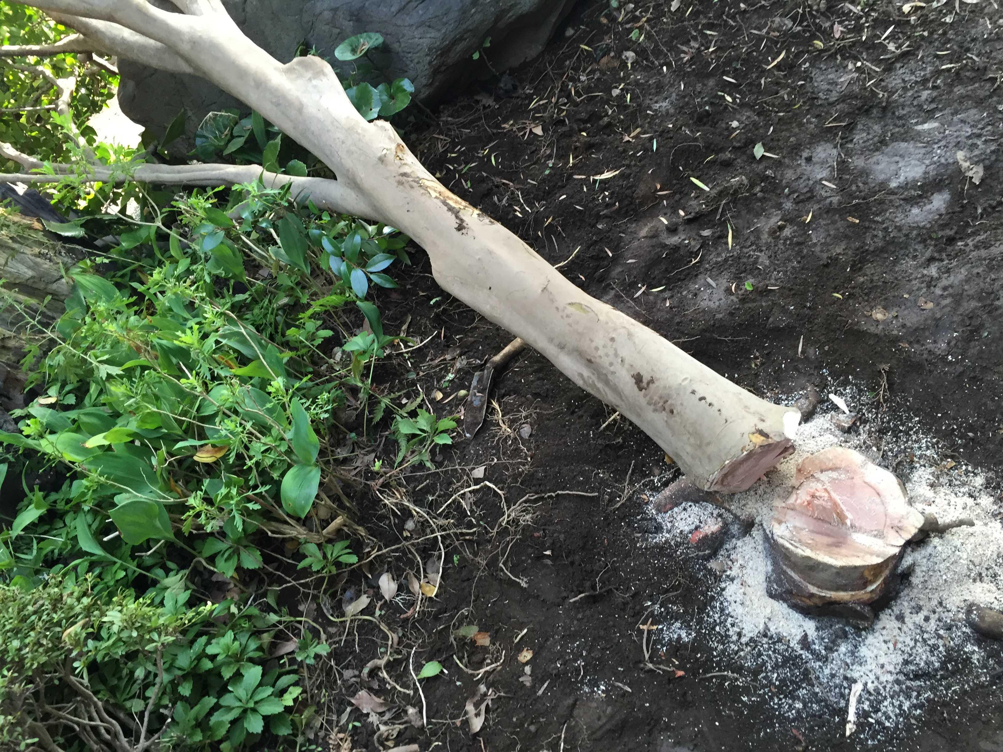 切り倒した椿(つばき)の木