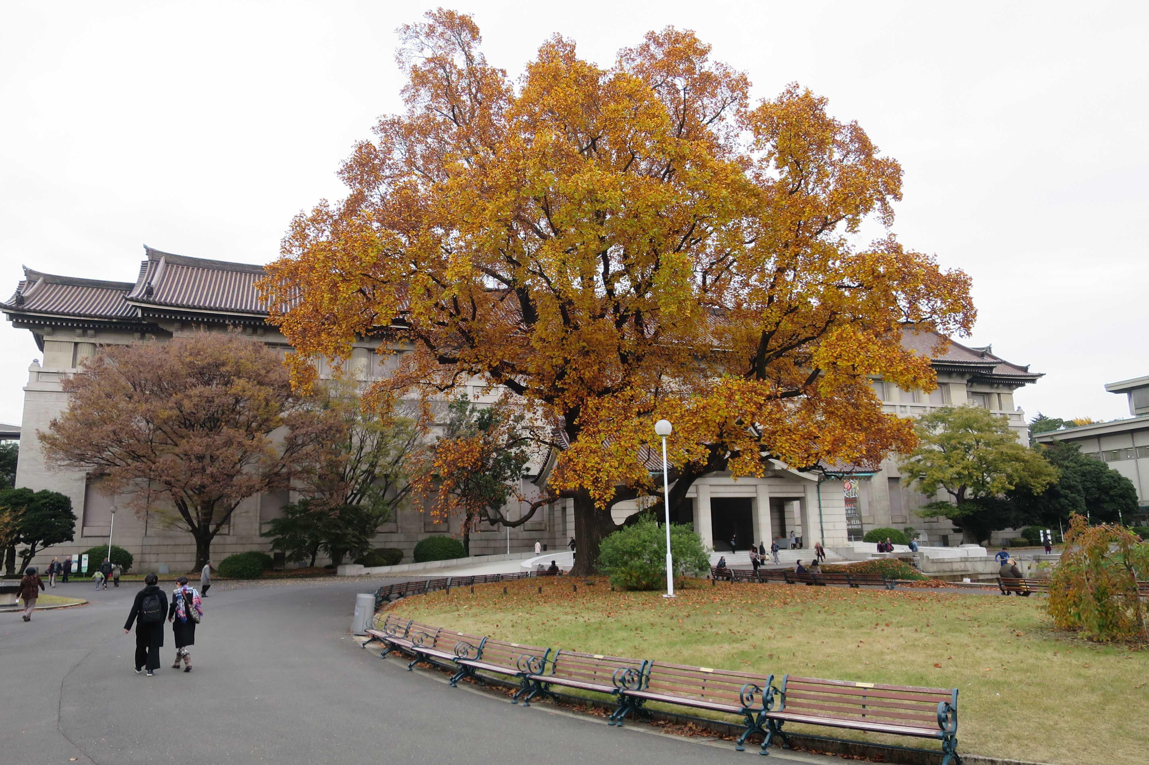 ユリノキの大木 - 東京国立博物館