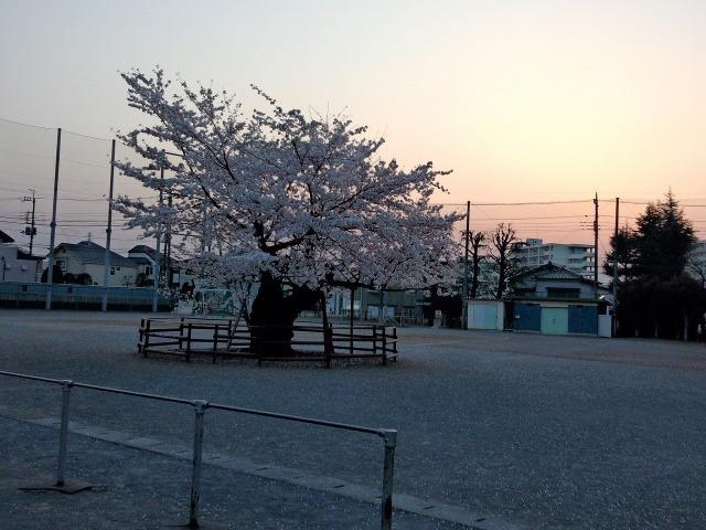 八王子八小の校庭に咲く桜(百年桜)