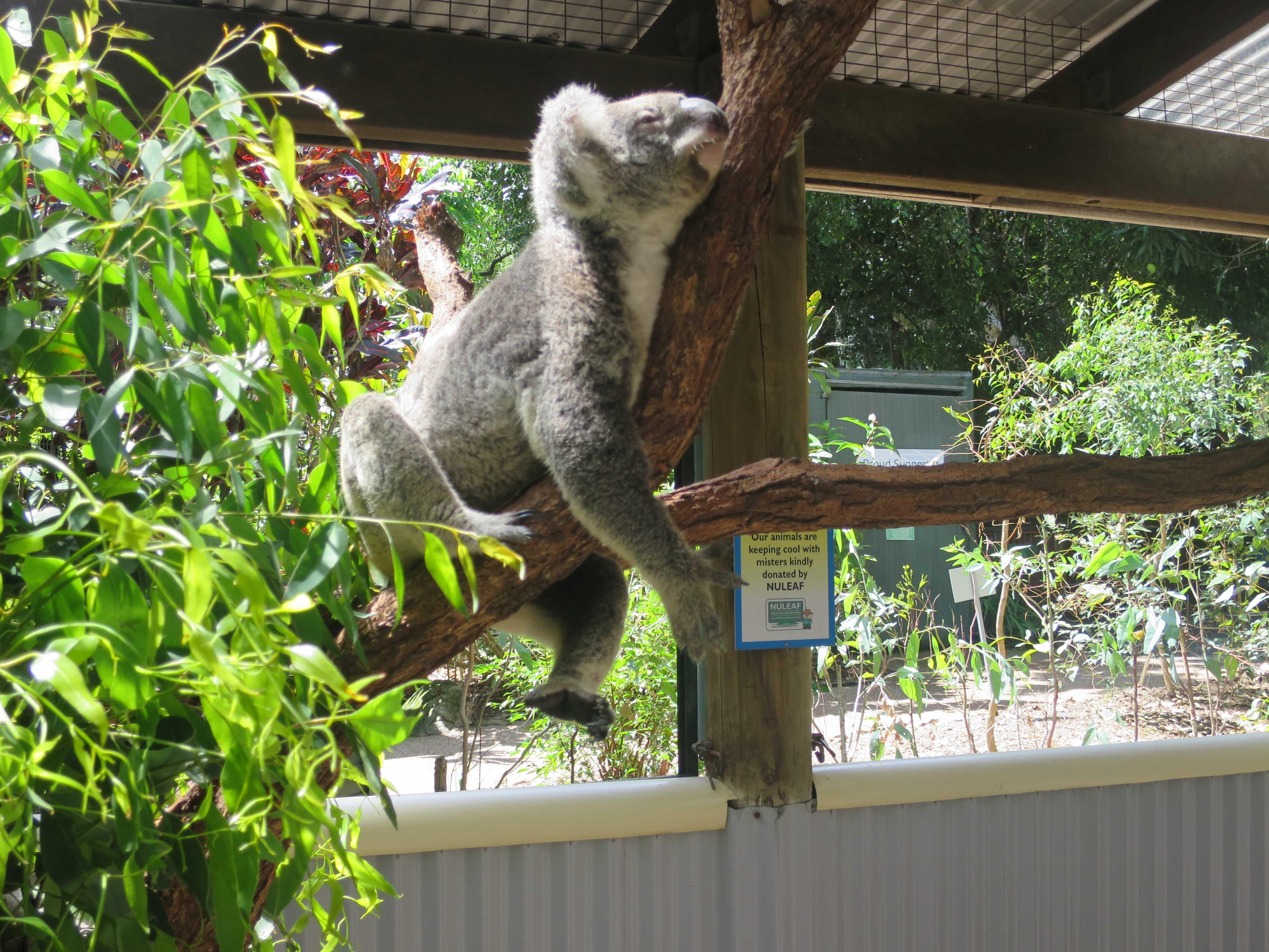 ケアンズトロピカルズー - 眠そうなコアラ