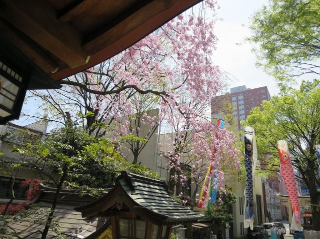 八王子・子安神社の桜と鯉のぼり