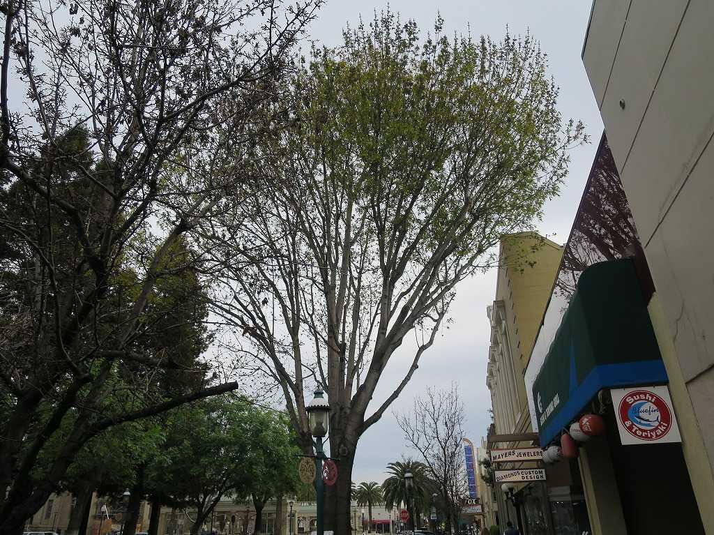 レッドウッドシティ - 木