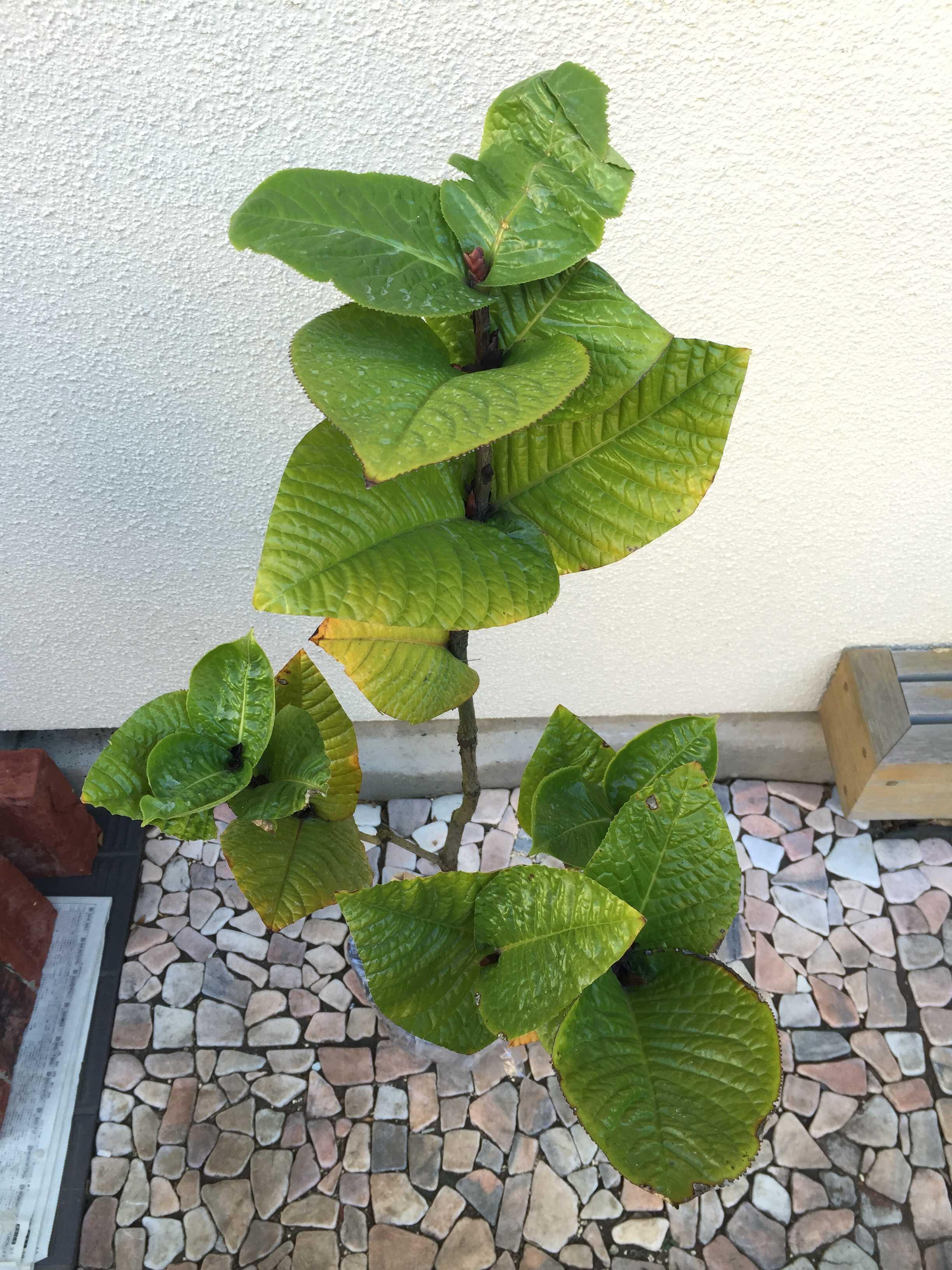 ベトナム原産の黄花椿「ムラウチィ」