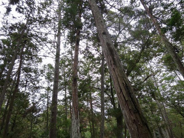 苔寺(西芳寺)の杉