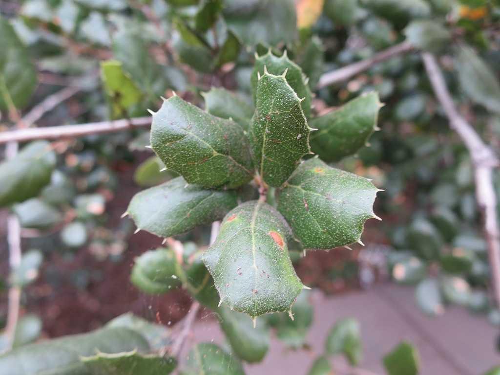 サラトガの葉