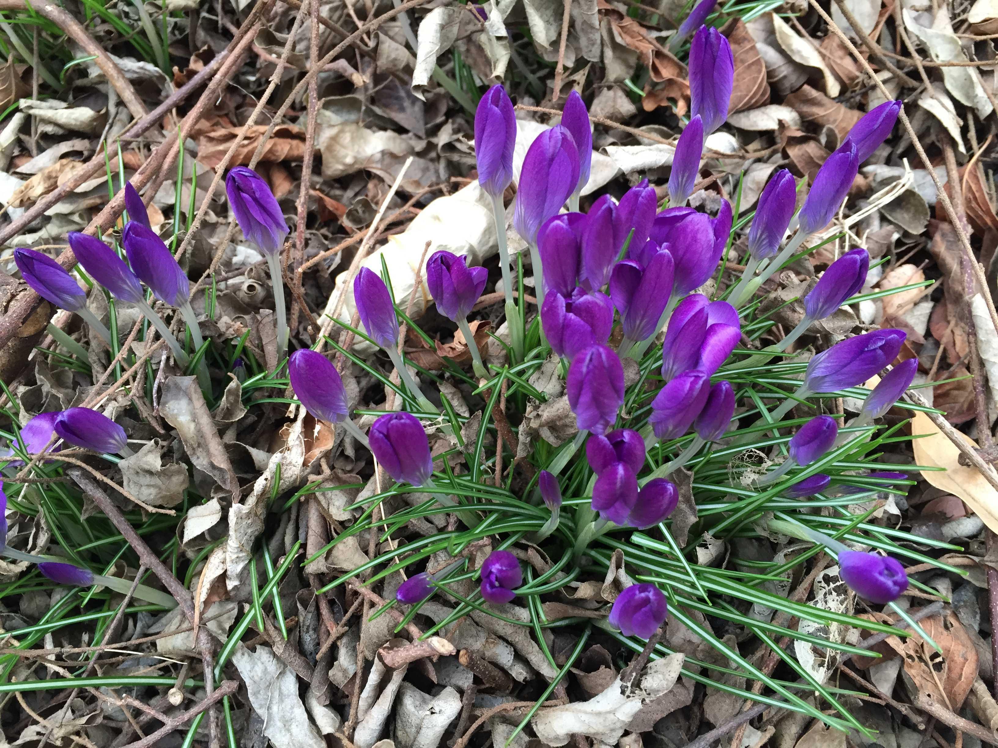 春告げ花 - 紫のクロッカス