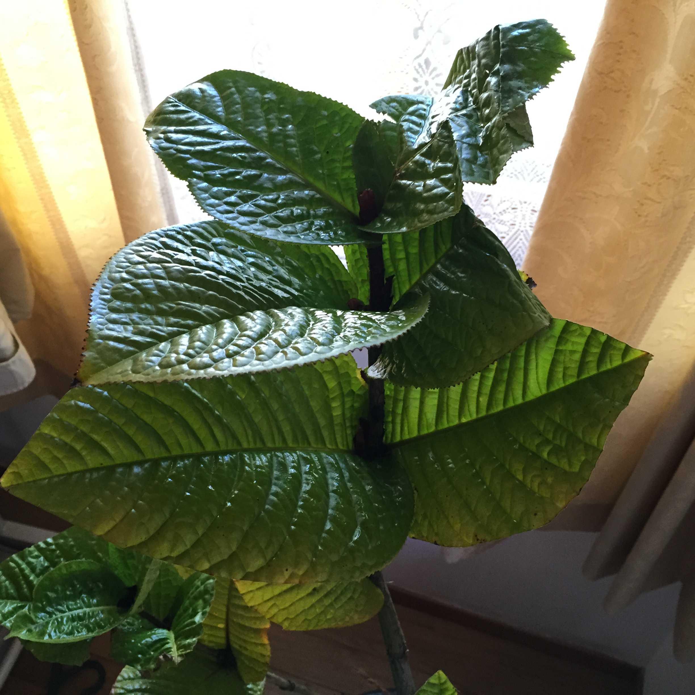 ベトナム原産の原種ツバキ/黄花ツバキ「ムラウチイ(Camellia murauchii)」