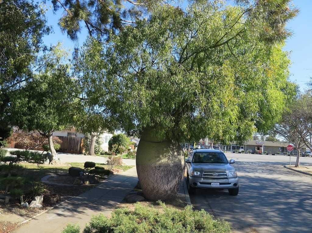 サラトガ・アベニュー近くの変な木
