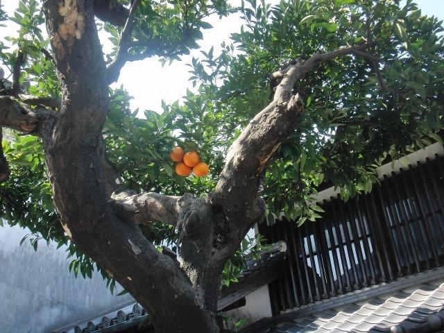 鞆の旧家の庭先のオレンジ(鮮烈なオレンジ色)
