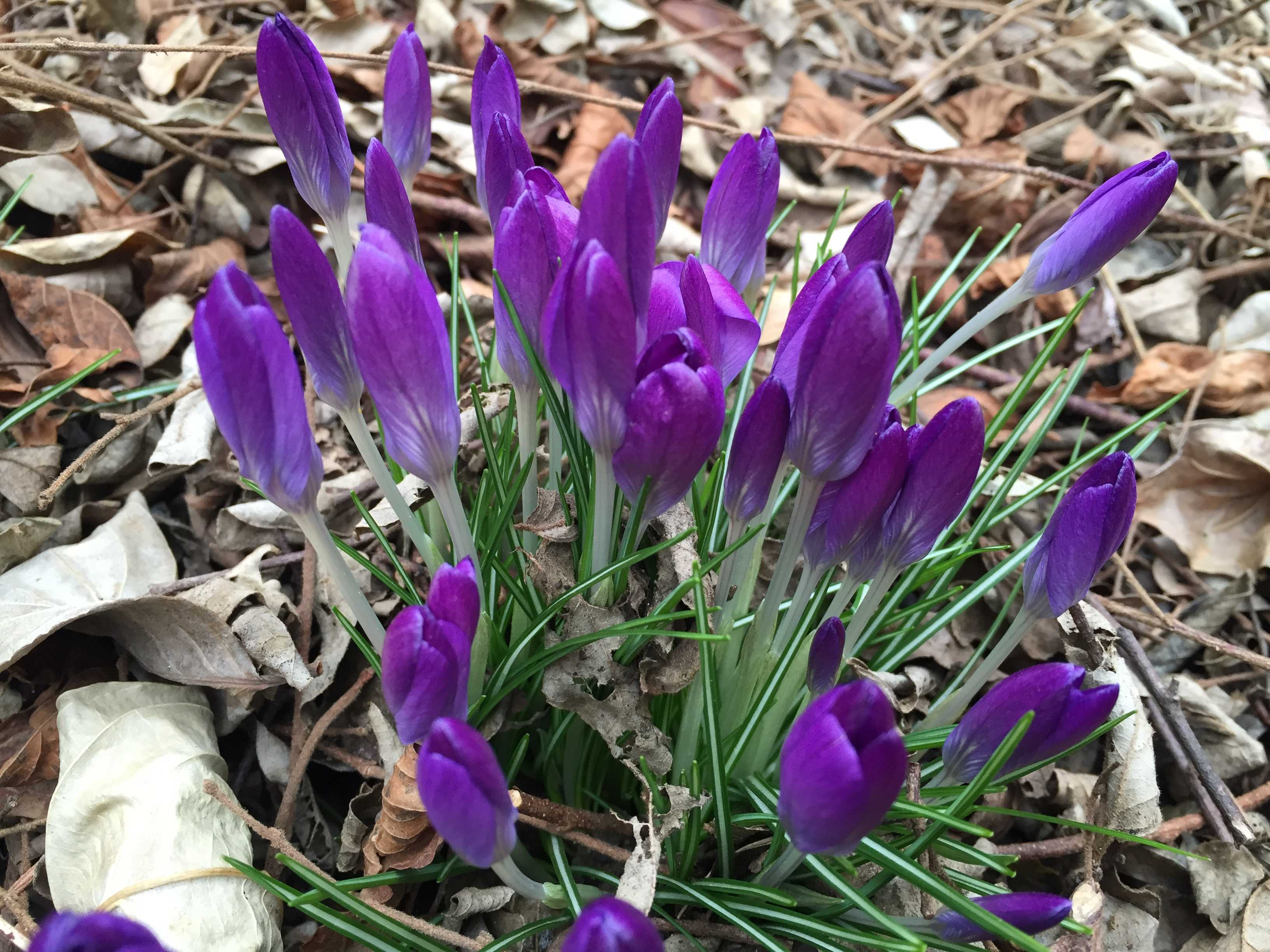 高貴な紫色のクロッカス