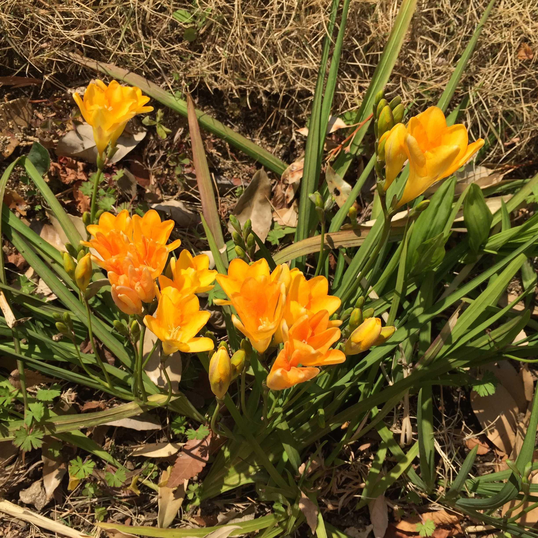 上から見たフリージアの花びら