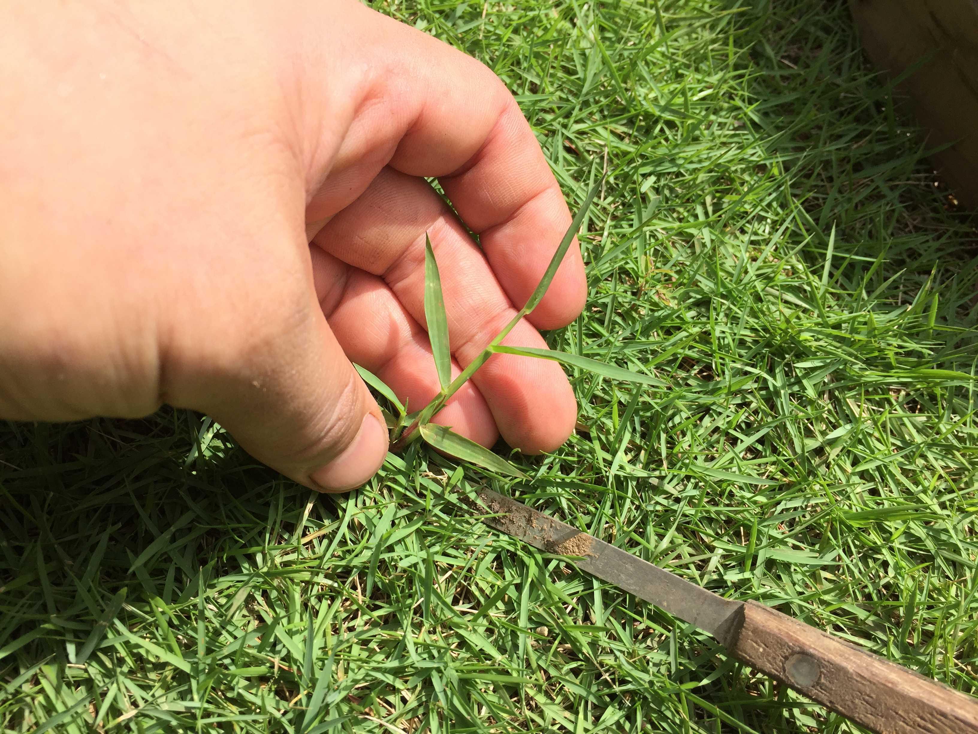 芝生の雑草取り