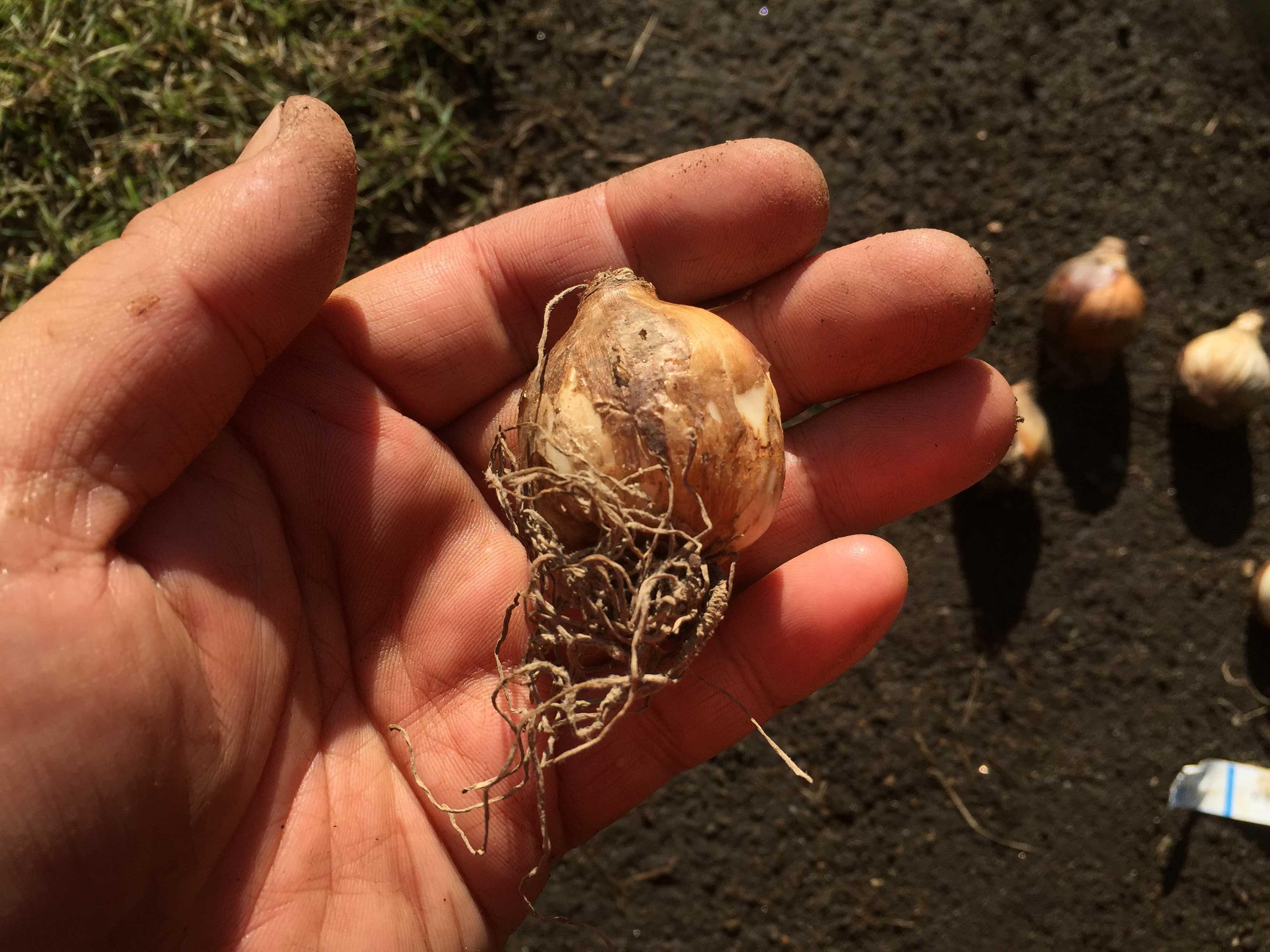 - 水仙の球根の植え方