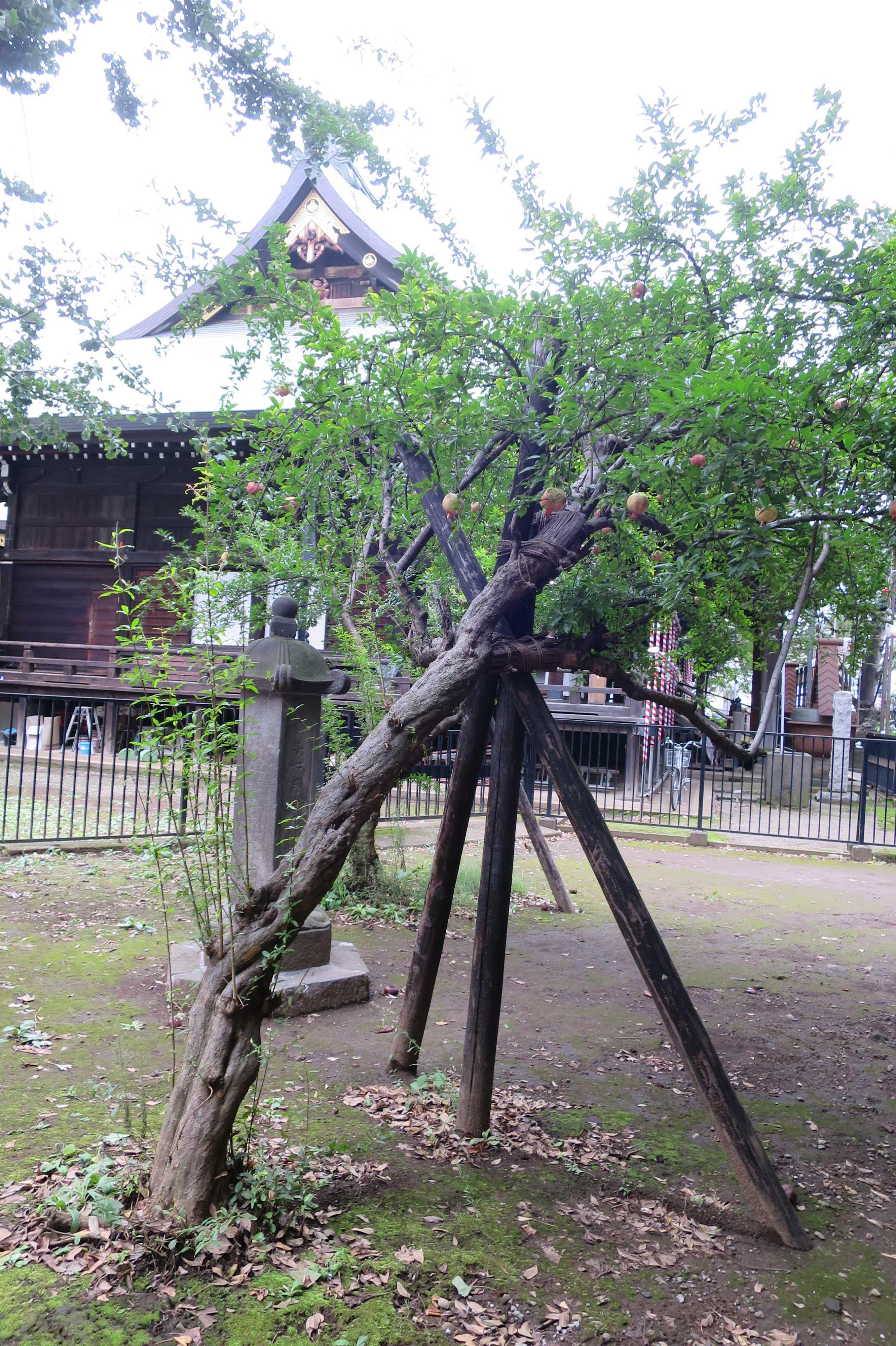 東京 雑司が谷・鬼子母神堂 - ザクロの木のつっかえ棒