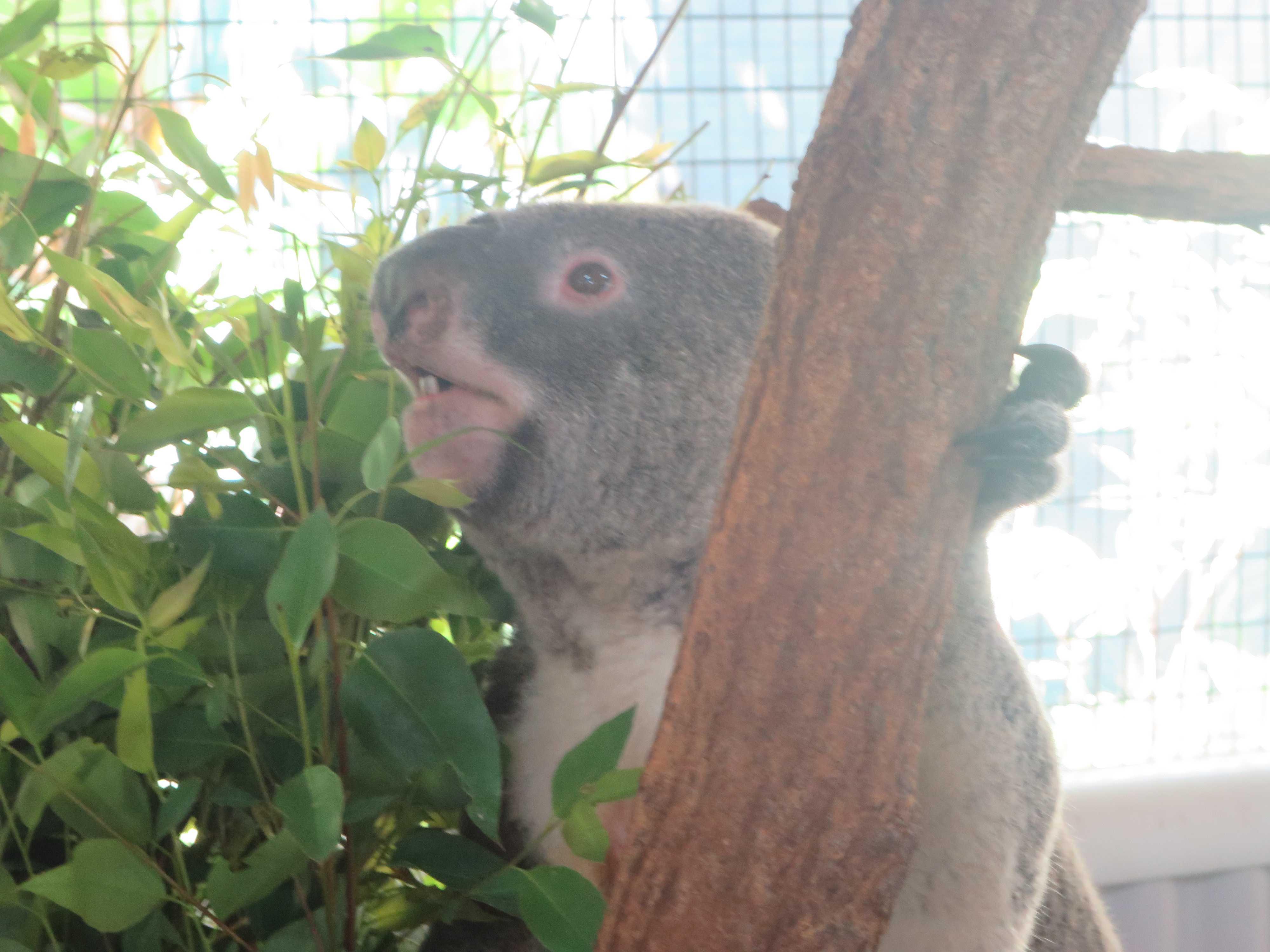 コアラ達の未来は私達の手に委ねられている