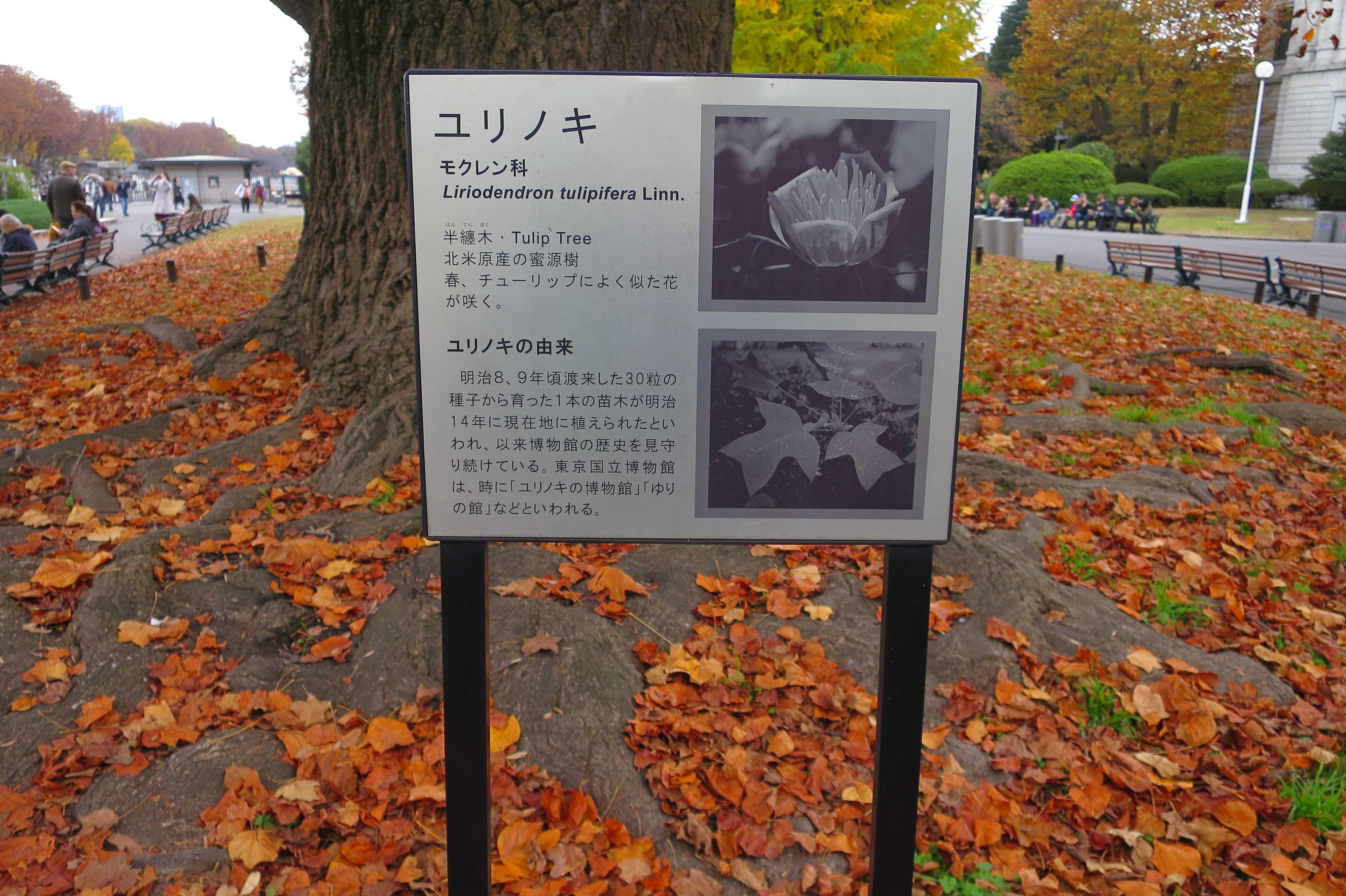 ユリノキの由来 - 東京国立博物館 本館前