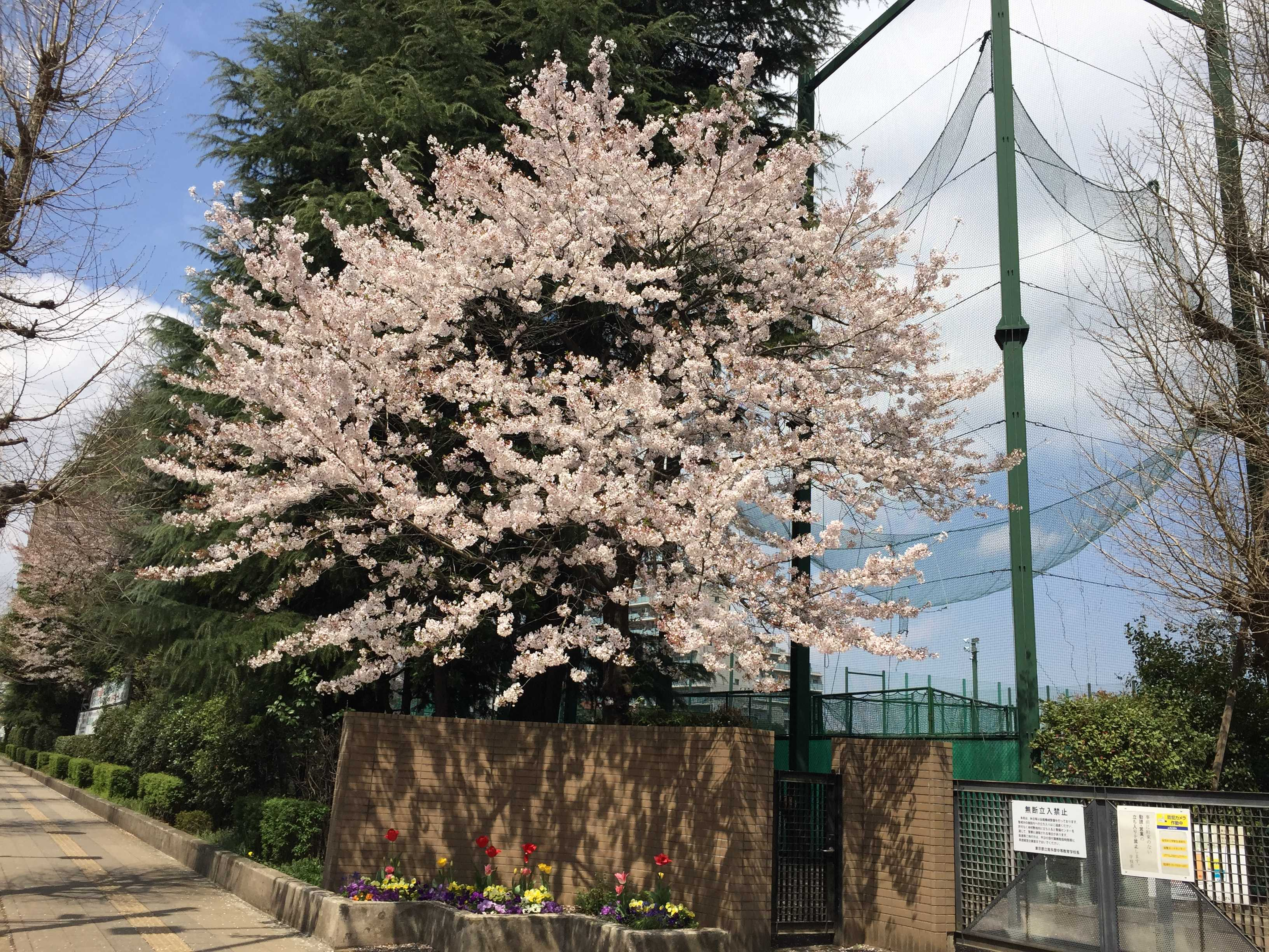 東京都立南多摩中等教育学校の桜