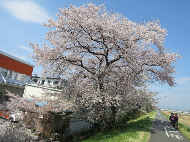八王子市浅川の満開の桜
