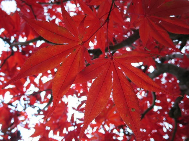 真っ赤な山紅葉