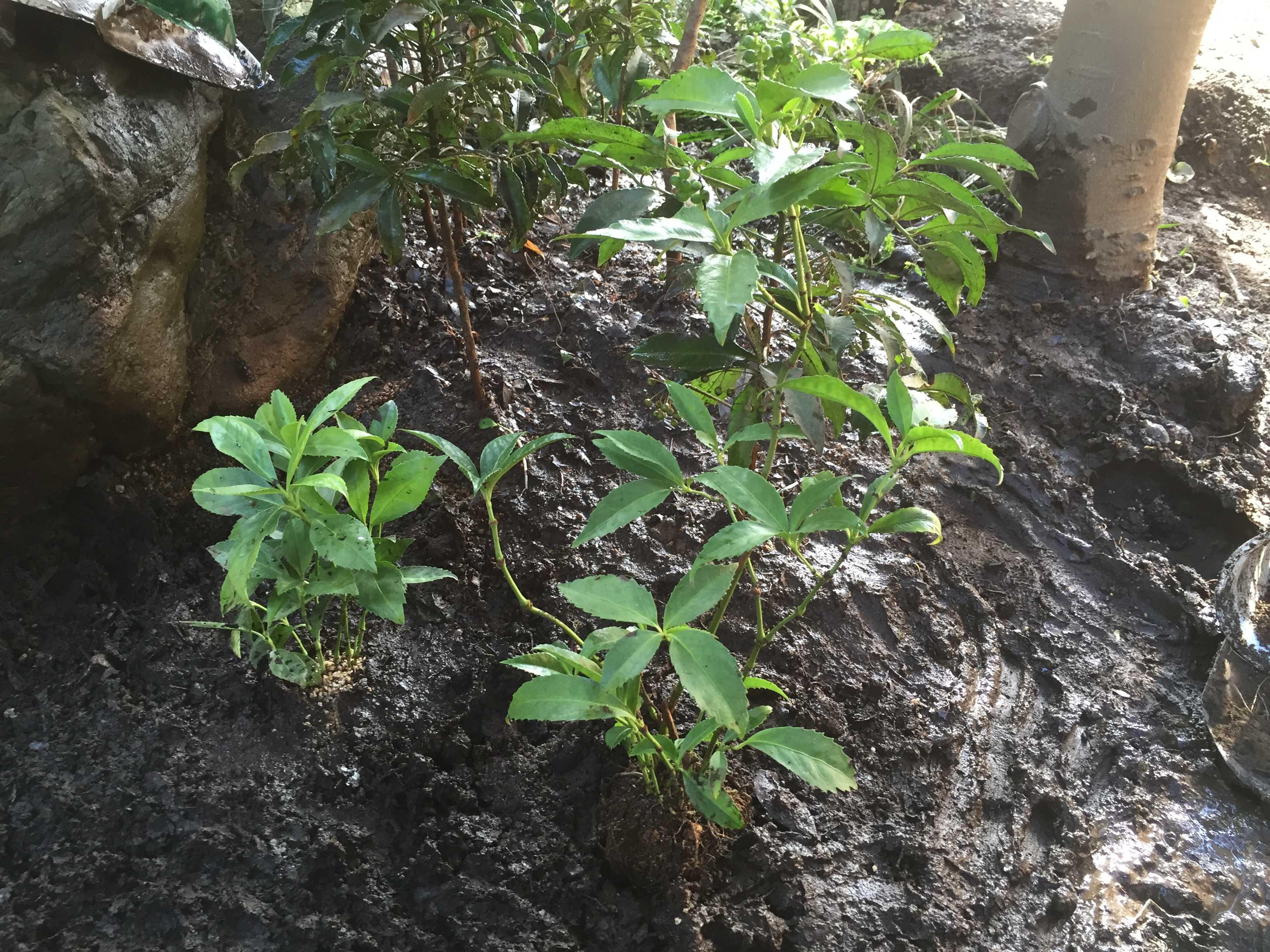 黄実の千両の植え付け