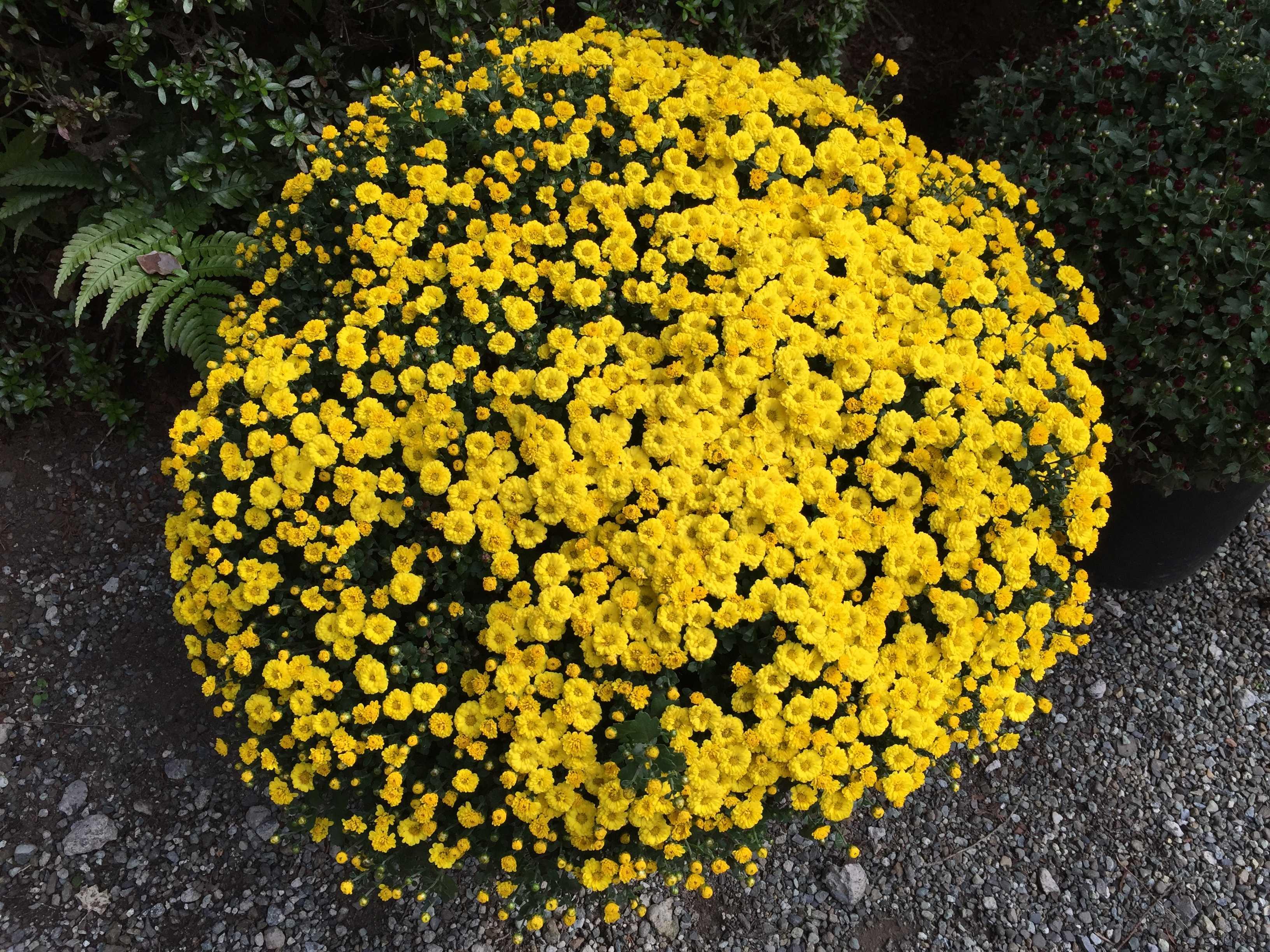 無量光寺 - 小さな黄色い花