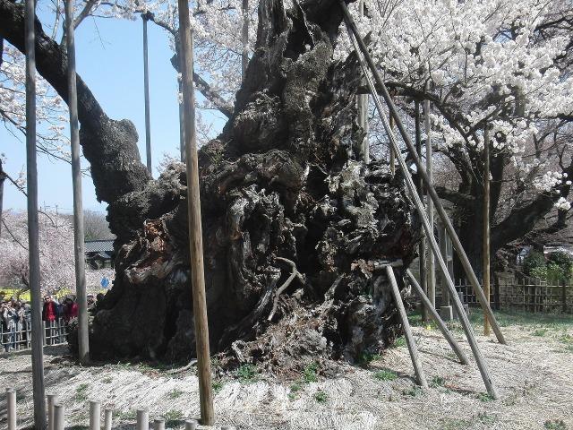 山高神代桜の太い幹