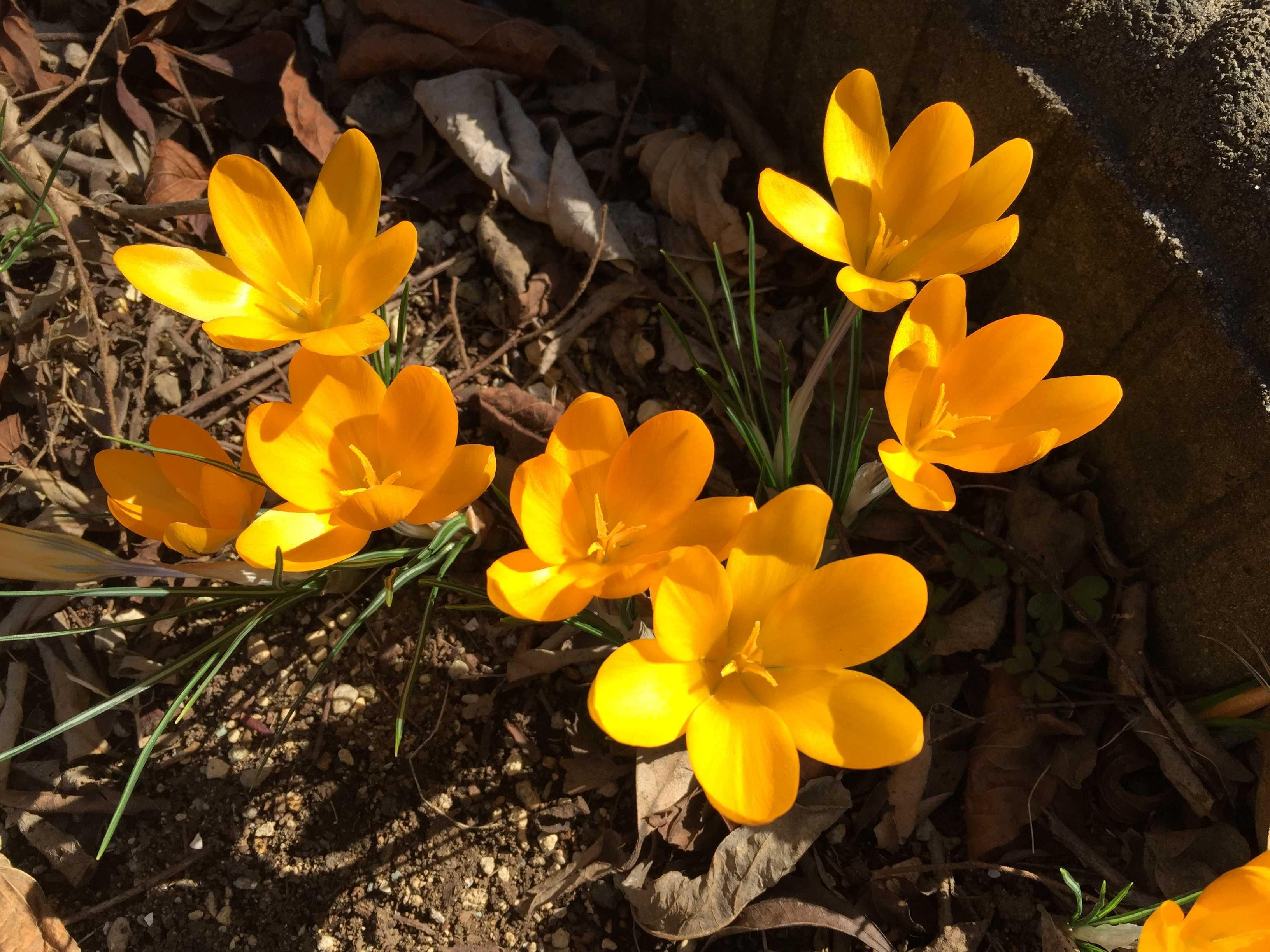 黄色いクロッカス(黄色のクロッカス)の花