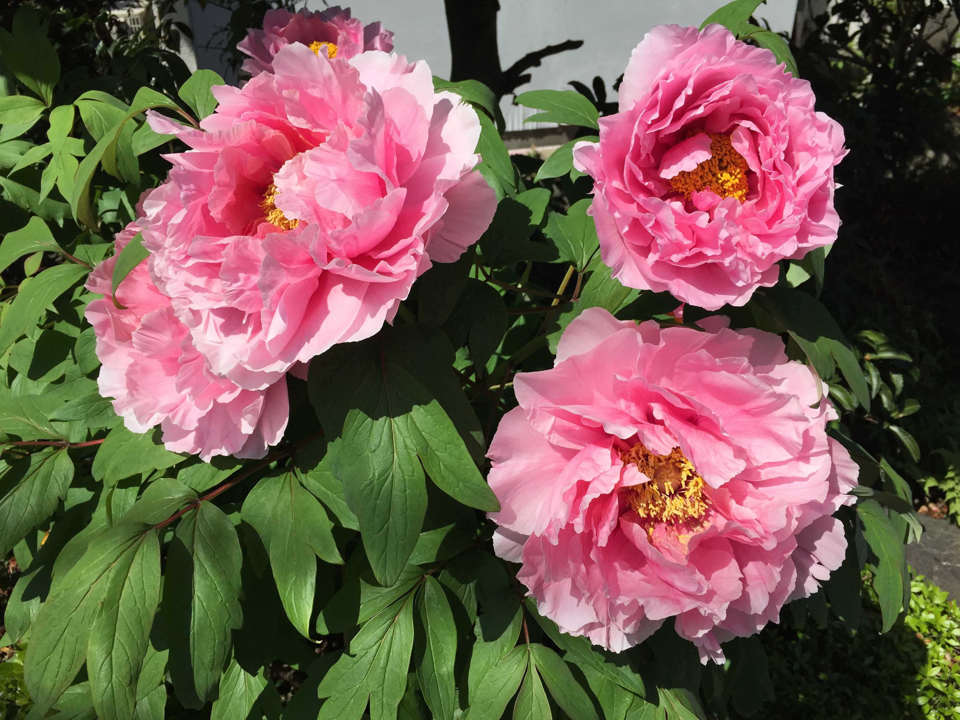 咲き誇る牡丹の大輪の花