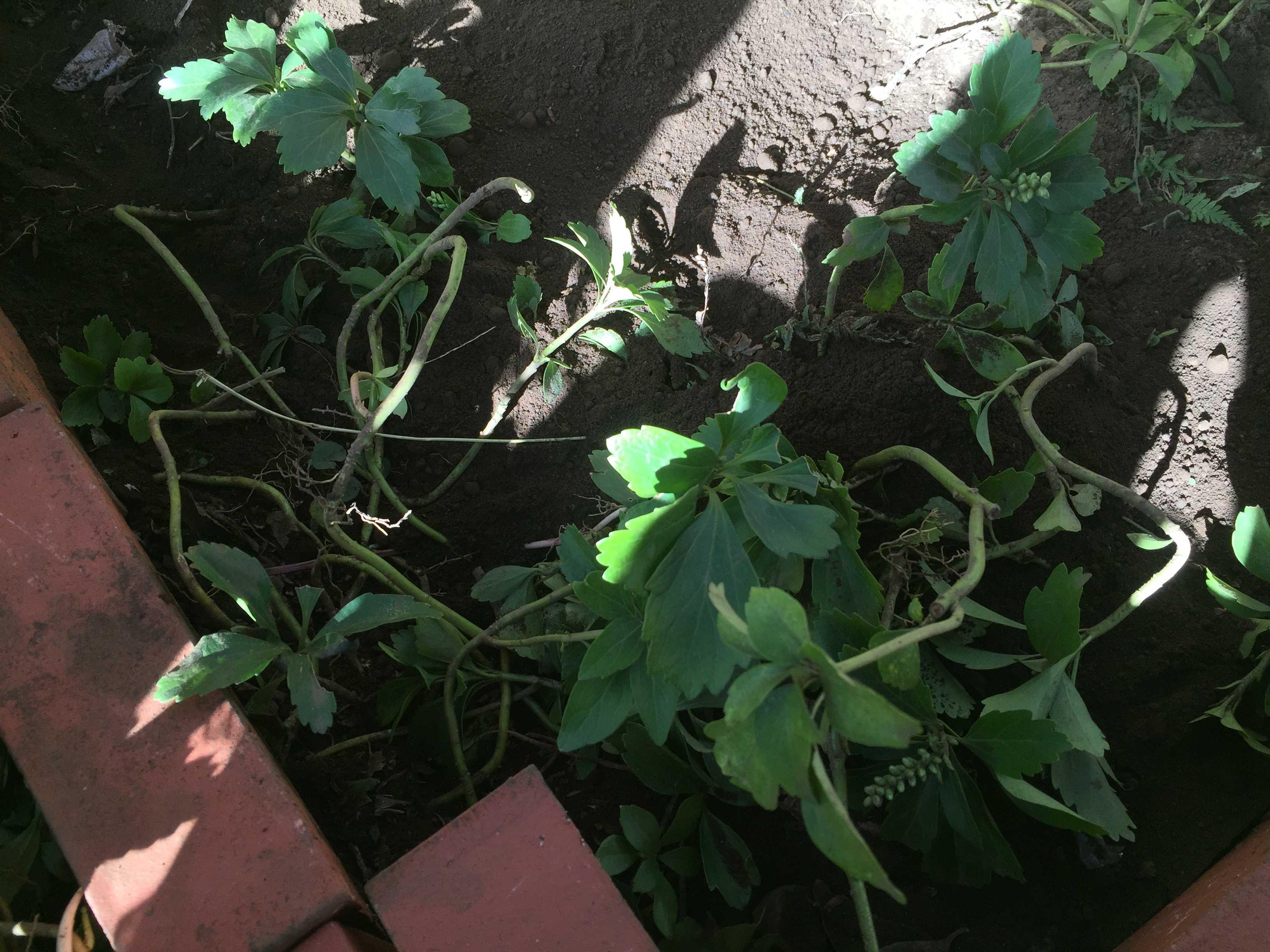 ヤマユリの球根植え付け - 雑草